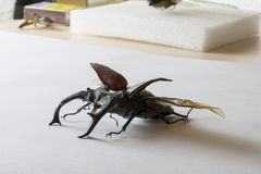 Lucanus cervus Stag beetle Straightened out Stock Images