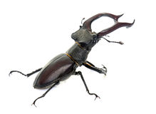Lucanus cervus in studio Stock Photography