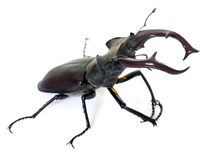 Lucanus cervus in studio Stock Photo