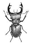 Lucanus illustration, engraving, drawing, ink Royalty Free Stock Images