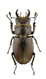Lucanus tetraodon Stock Photography