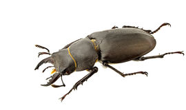 Lucanus tetraodon Stock Photos