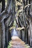 lucca αλεών δέντρο στοκ φωτογραφία με δικαίωμα ελεύθερης χρήσης