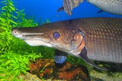 Luccio dell'alligatore Immagine Stock Libera da Diritti