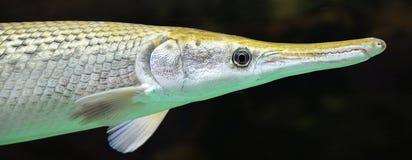 Luccio dell'alligatore Immagini Stock Libere da Diritti