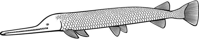 Luccio dell'alligatore Immagini Stock