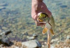 Luccio nelle mani di un pescatore Il fronte del luccio con una bocca aperta fotografia stock libera da diritti