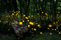 lucciole Fotografie Stock