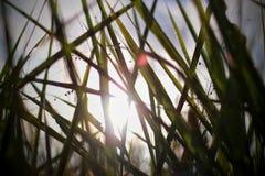 luce attraverso l'erba Fotografia Stock