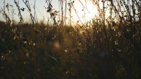 Luce calda del sole di estate che splende attraverso il campo di erba selvatica Chiuda su dei fiori del campo di erba alla luce d video d archivio