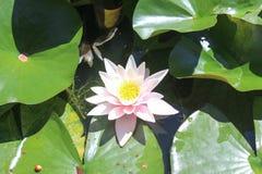 Luce del sole dell'acqua del loto del fiore Fotografie Stock Libere da Diritti