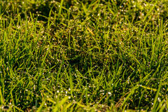 Luce del sole dell'erba di mattina Immagini Stock Libere da Diritti
