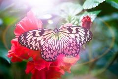Luce della farfalla Fotografia Stock