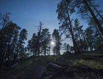 Luce della luna tramite i pini di ponderosa Fotografia Stock Libera da Diritti