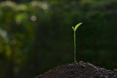 Luce della plantula di mattina Fotografia Stock