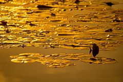 Luce di Lily Pads In The Golden del tramonto Fotografia Stock