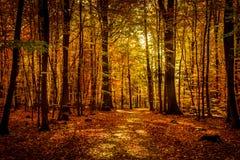 Luce di ottobre dell'oro in foresta Immagini Stock Libere da Diritti