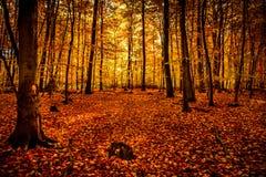 Luce di ottobre dell'oro in foresta Immagine Stock