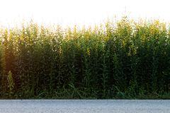 Luce di primo mattino del fiore di Crotalaria Immagini Stock Libere da Diritti