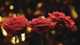 Luce di qualità dello studio del fiore di Rosa video d archivio
