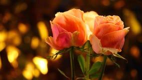 Luce di qualità dello studio del fiore di Rosa archivi video