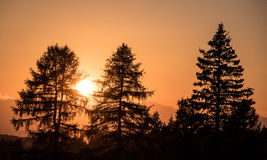Luce di tramonto con la siluetta dei pini Fotografia Stock