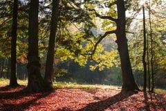 Luce di tramonto in una foresta durante l'autunno fotografie stock