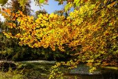 Luce dorata di autunno tramite le foglie colorate nella foresta fotografie stock libere da diritti