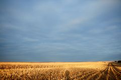 Luce dorata su un campo di grano durante la raccolta Immagine Stock Libera da Diritti