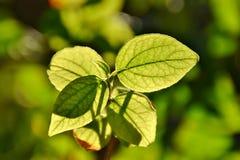 Luce e foglie Fotografia Stock