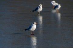Luce e riflessioni di inverno con la condizione del gabbiano sullo stagno congelato fotografie stock