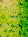Luce ed ombra che splende giù sulle foglie del loto Immagini Stock