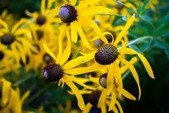 Luce gialla di Coneflower di mattina immagine stock