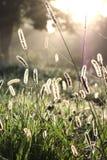 Luce ingioiellata dell'erba di mattina Fotografia Stock Libera da Diritti