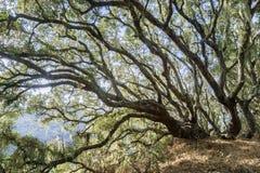 Luce intensa che splende attraverso una foresta del leccio costiero (quercus agrifolia), lichene del pizzo (menziesii di Ramalina fotografia stock libera da diritti