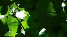 Luce luminosa del sole del giovane fogliame verde fresco, fine sul colpo archivi video
