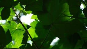 Luce luminosa del sole del giovane fogliame verde fresco, fine sul colpo stock footage