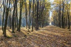 Luce luminosa di alba nella foresta gialla di autunno Fotografie Stock