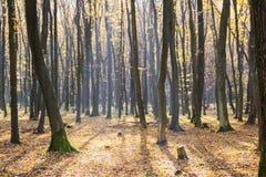 Luce luminosa di alba nella foresta gialla di autunno Fotografia Stock Libera da Diritti