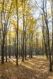 Luce luminosa di alba nella foresta gialla di autunno Immagine Stock Libera da Diritti