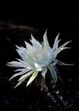 Luce naturale che splende su un saguaro di fioritura di notte bianca contro la a Fotografie Stock Libere da Diritti