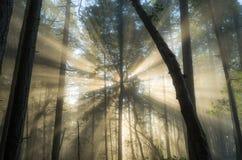 Luce nebbiosa della foresta Immagine Stock
