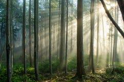 Luce nebbiosa della foresta dalla destra Fotografia Stock Libera da Diritti