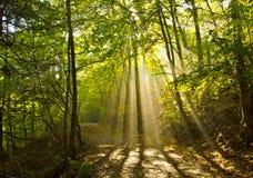 Luce nella foresta Fotografie Stock Libere da Diritti