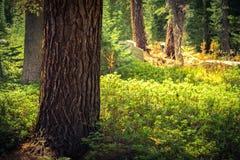 Luce nella foresta Fotografia Stock Libera da Diritti