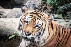 Luce nera al suolo del fondo A della tigre feroce bella Immagini Stock Libere da Diritti