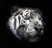 Luce nera al suolo del fondo A della tigre feroce bella Immagine Stock Libera da Diritti
