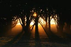 Luce solare attraverso gli alberi di cipresso Fotografia Stock