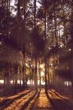 Luce solare attraverso gli alberi forestali Immagini Stock Libere da Diritti