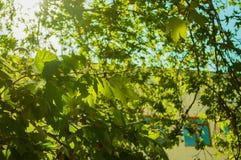 Luce solare bianca luminosa che splende tramite le foglie di acero verdi e gialle contro un cielo blu immagine stock libera da diritti